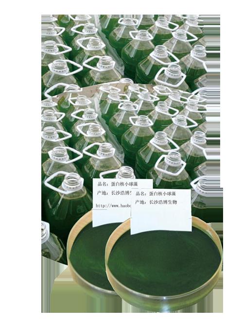 蛋白核小球藻